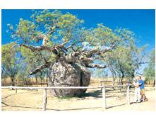The Boab Tree in the Kimberley