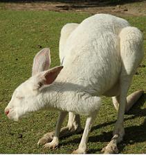White Kangaroo