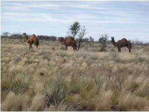 Camel's in the Australian Outback